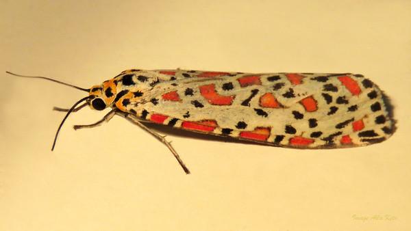Utetheisa lotrix (Erebidae)