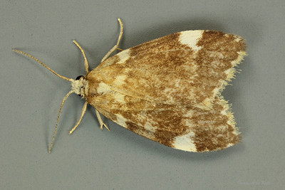 Halone pteridaula. (Erebidae)