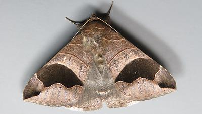 Dysgonia solomonensis (Erebidae)