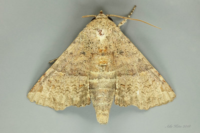 Targalla delatrix Guenée, 1852 (Euteliidae)