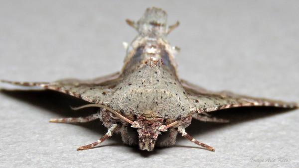 Targalla subocellata (Euteliidae)
