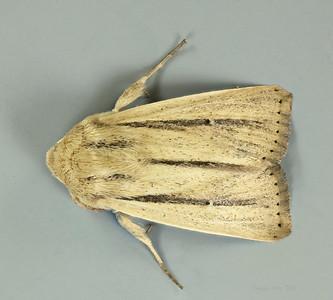 Leucania diatrecta Butler, 1886 (Noctuidae)