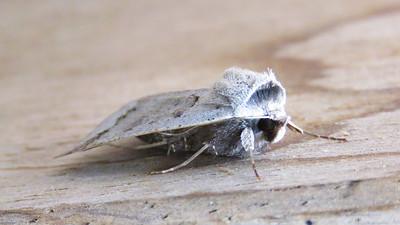 Pantydia diemeni (Noctuidae)