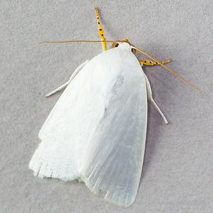 Chasmina tibialis (Noctuidae)