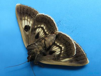 Donuca rubropicta (Noctuidae)