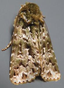 Talatha sp.2 Springbrook (Noctuidae)
