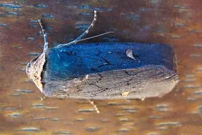Proteuxoa cinereicollis (Noctuoidea)