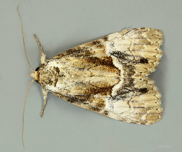 Alophosoma emmelopis (Noctuidae)