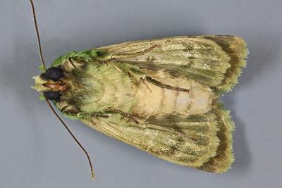 Pachythrix hampsoni (Noctuidae)