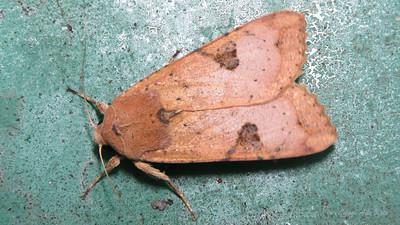 Tiracola plagiata (Noctuidae)