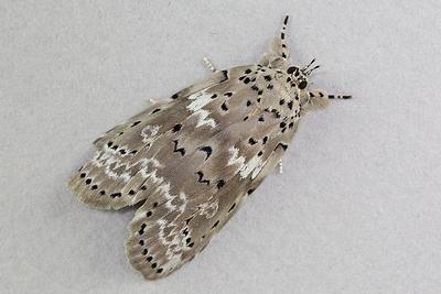 Talatha sp. aff melanophrica (Noctuidae)