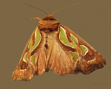 Cosmodes elegans (Noctuidae)