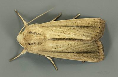 Leucania diatrecta Butler, 1886 (Noctuidea