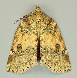 Nycteola sp. (Nolidae)