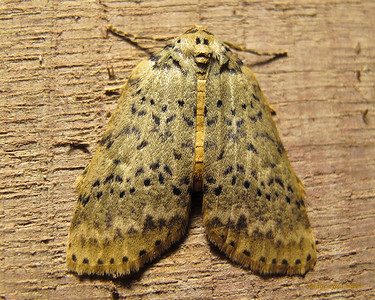 Lyelliana dryophila Turner, 1917 (Geometridae)