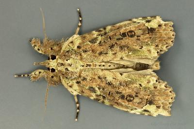 Iscadia poliochroa Hampson, 1912 (Nolidae)