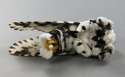 Cerura australis Scott, 1864 (Notodontidae)