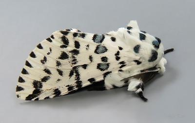 Notodontidae