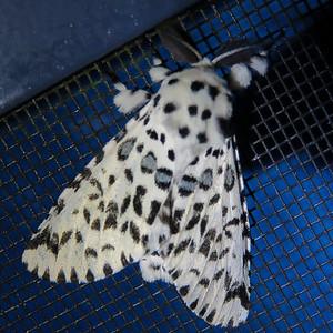 Cerura australis (Notodontidae)