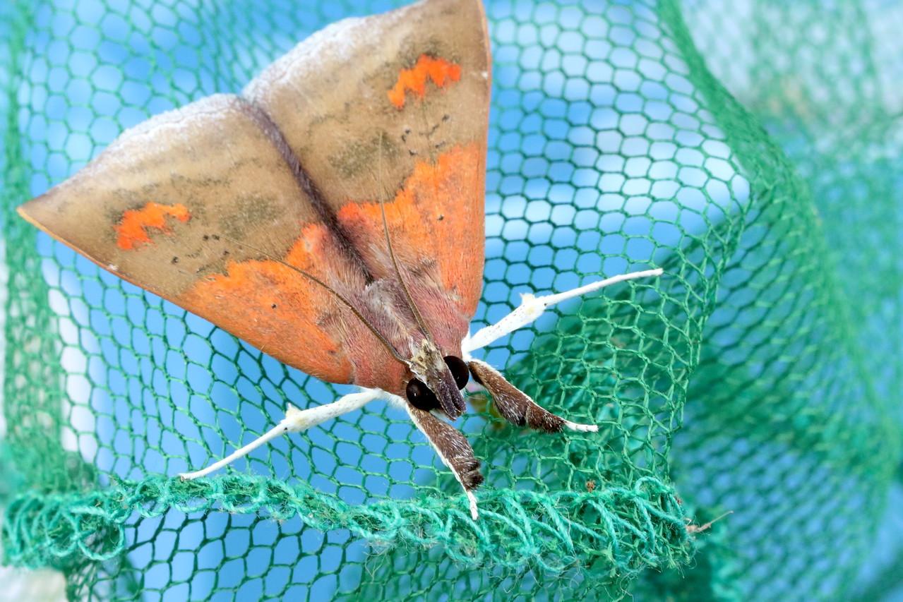 Uresiphita ornithopteralis (Crambidae