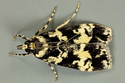 Scoparia exhibitalis (Walker, 1855), Crambidae