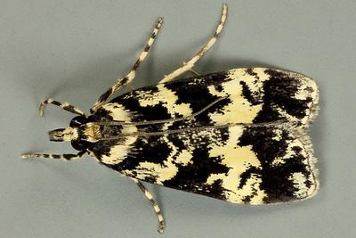 Scoparia exhibitalis (Walker, 1855), Crambidae