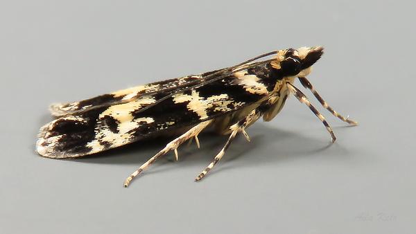 Scoparia exhibitalis (Walker, 1866), Crambidae