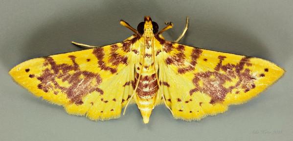 Conogethes haemactalis Snellen, 1890 (Crambidae)