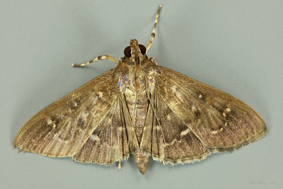 Prorodes mimica Swinhoe, 1894 (Crambidae)