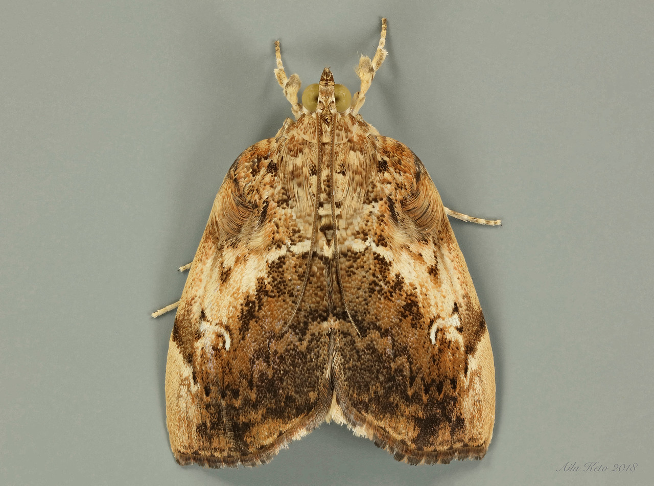 Crocidolomia nr. suffusalis Hampson, 1891 (Crambidae
