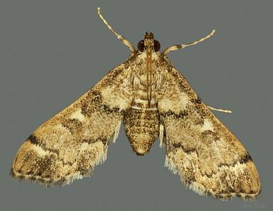 Metasia tiasalis Walker, 1859 (Crambidae)
