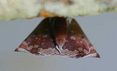 Uresiphita ornithopteralis (Crambidae)