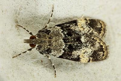 Scoparia nr. protorthra (Crambidae)