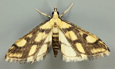 Deuterarcha sp. aff. xanthomela Meyrick, 1884 (Crambidae
