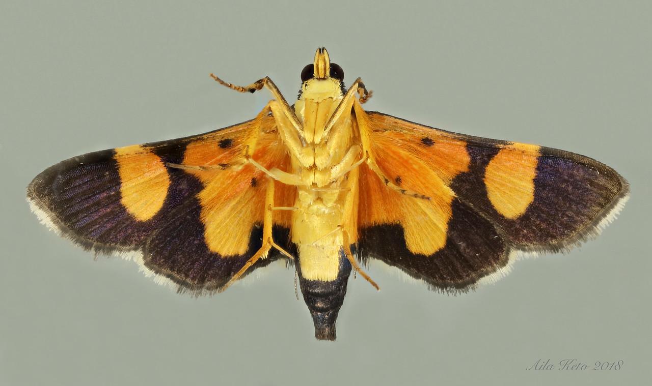Deuterarcha xanthomela Meyrick, 1884 (Crambidae)