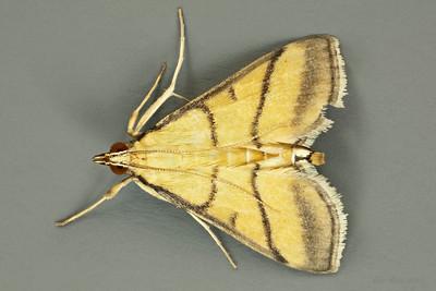 Cnaphalocrocis medinalis Guenée, 1854 (Crambidae)