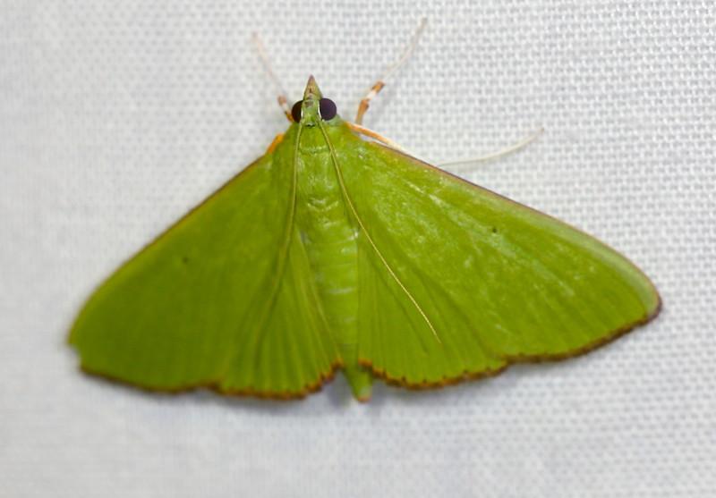Parotis marginata (Crambidae)