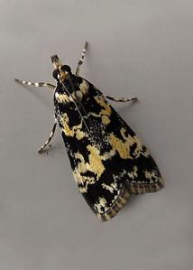 Scoparia exhibitalis (Crambidae)