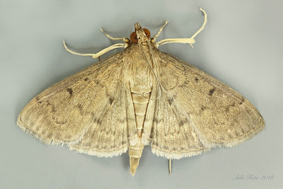 Hyalobathra sp. (Crambidae)