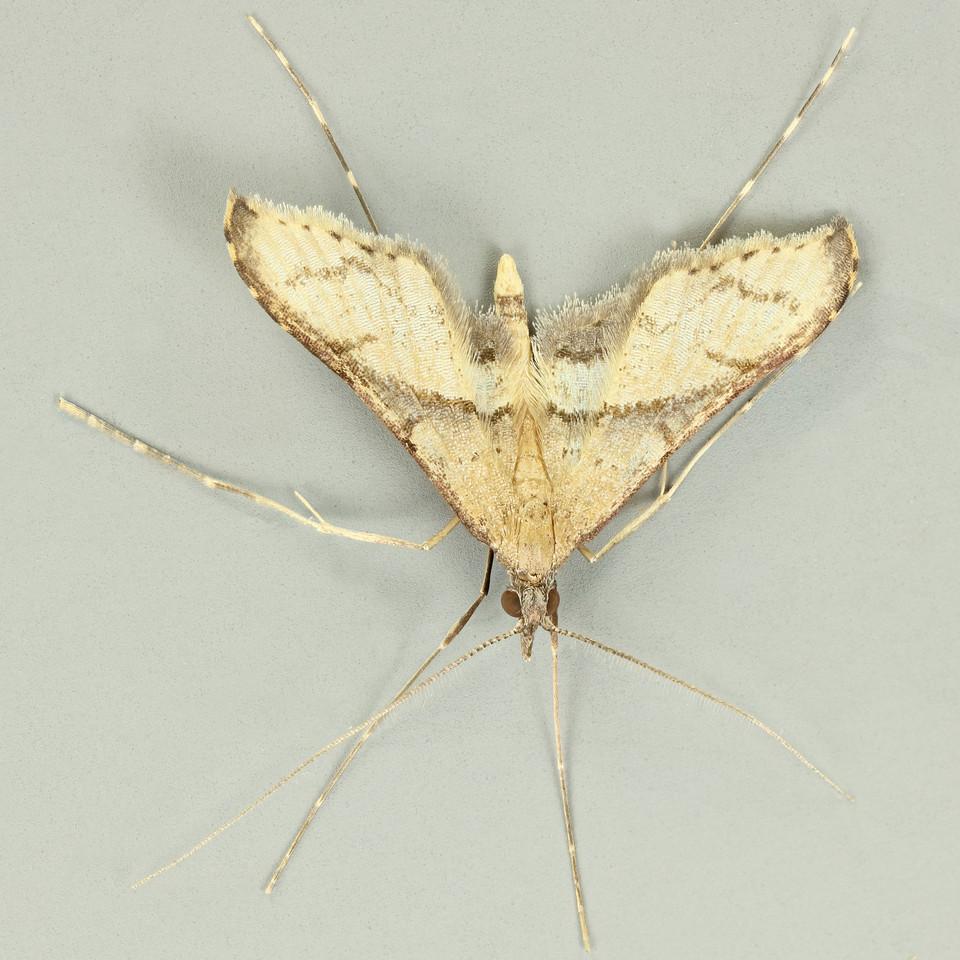 Cnaphalocrocis sp. aff. medinalis or Bradina sp. aff. admixtalis (Crambidae)