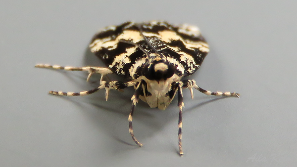 Scoparia exhibitalis (Walker, 1866), Crambidae