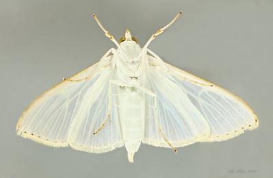 Palpita margaritaceae Inoue, 1997. (Crambidae)