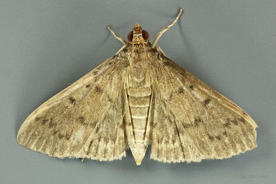 Hyalobathra sp. or Omiodes sp. (Crambidae)