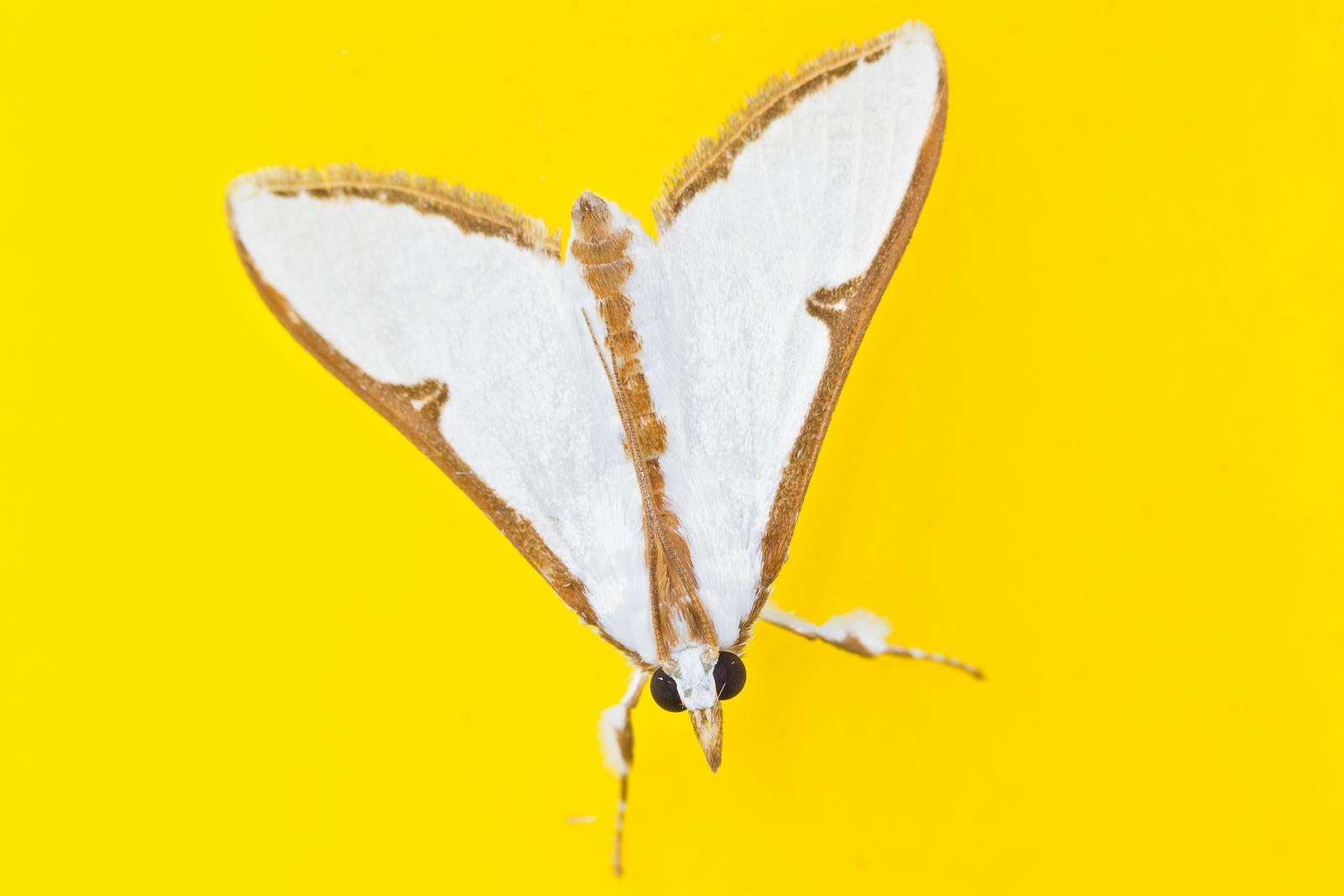 Cirrhochrista arcusalis (Crambidae)