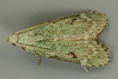 Carposina nr. smaragdias (Carposinidae)