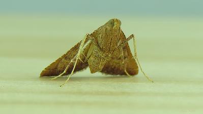 Endotricha pyrosalis (Pyralidae)