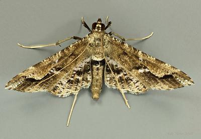 Pyraustinae sp. (Pyralidae)