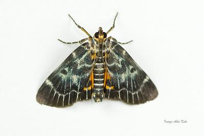 Cardamyla carinentalis (Pyralidae)