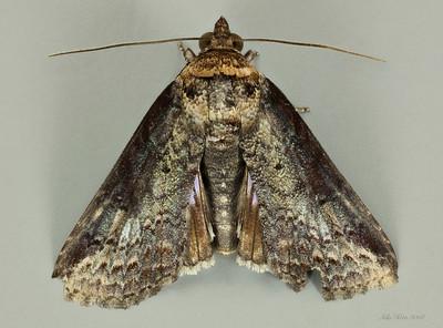 Pyralidae sp. (Pyralidae)