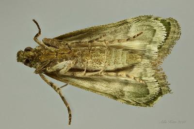 Heteromicta poeodes Turner, 1905 (Pyralidae)